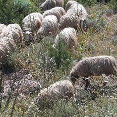 La pecora - le pecore