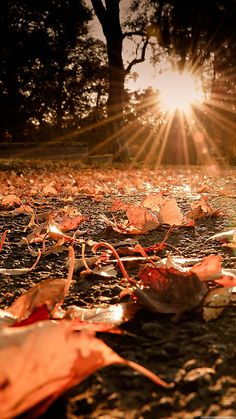Nature iPhone 6 Plus Wallpapers - Autumn Leaves On The Ground Sunset iPhone 6 Plus HD Wallpaper
