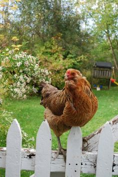 Chicken on the Fence