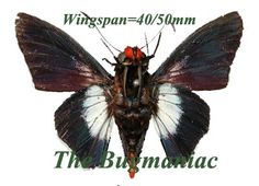 Hesperidae + BG : Pyrrhopyge thericles - The Bugmaniac INSECTS FOR SALE BUTTERFLIES FOR SALE INSECTS FOR SALE BUTTERFLIES FOR SALE BUTTERFLIES BY ECOZONE NEOTROPICAL ECOZONE HESPERIDAE