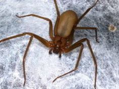 Notorious Brown Recluse ... these lil fellas pack a good punch!! lol