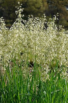 Vanilla Sweet Grass (Hierochloe odorata). This grass is considered sacred and used in Native American ceremonies; braided and burned as a 'smudge' to purify body and soul. The glossy leaves have a pleasant vanilla fragrance. Requires a moist rich soil in full sun. Creeps slowly by rhizomes to form a patch.