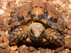 Smallest Chelonian: Of all the chelonians-turtles, tortoises and terrapins-the smallest is the speckled cape tortoise or speckled padloper (Homopus signatus). It has a shell length of 6-9.6 cm (2.3-3.7in)-so small that the tortoise can hide in tiny gaps between rocks.