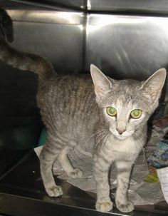 Star - 5 month old, spayed female, domestic short hair mix, ID#070142G