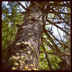 Big ole pine tree
