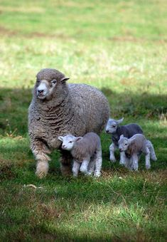 Mother Sheep and her Three Baby Lambs on the Farm
