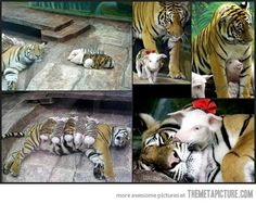 aw. tiger + piglets.