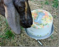 Cooling off the Goaties!  Ice chunks with vegetable pieces  www.meadowflyfarm.com