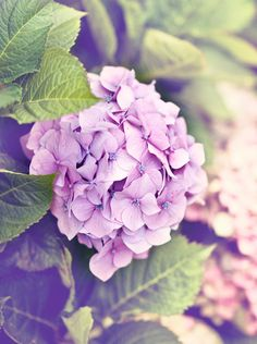 My Granny grew hydrangeas......seeing them reminds me of her. (Lovely picture Tracy, thanks)