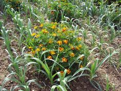Certaines plantes repoussent les insectes, d'autres au contraire les attirent, les éloignant ainsi des légumes… Profitons donc de leurs bienfaits en les associant dans le...
