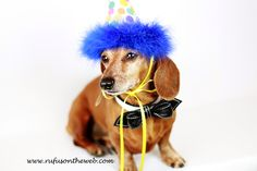 Happy Birthday Rufus! Celebrating 8 years of Rufus with 8 pictures.  http://wp.me/p27Fw1-rx #dachshund #doxies #birthday + Great gift ideas: http://www.examiner.com/article/celebrating-another-birthday