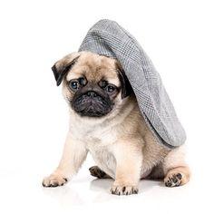 Maybe to big #pug #puglive #puglover #pugs #puglove #pugoftheday #pugworld #puglife🐾 #pugpuppy #pugdog #pugofinstagram #instapug