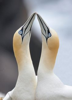 Photo by Ronan McLaughlin - Northern Gannets Note from a previous Pinner: I used to work with these birds in Cornwall and they are totally awesome. Pretty Birds, Love Birds, Beautiful Birds, Animals Beautiful, Animals And Pets, Cute Animals, Kinds Of Birds, Tier Fotos, Sea Birds