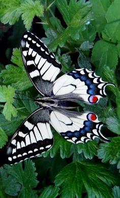 El macaón (Papilio machaon) es una especie de lepidóptero ditrisio de la familia Papilionidae ampliamente distribuida en el Hemisferio Norte.