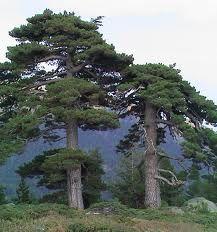 (68)  Pinus nigra (Austrian Pine)