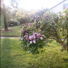 Abendsonne Plants, Pictures, Flora, Plant, Planting