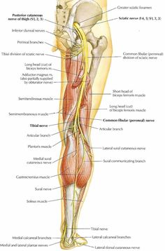 Sciatic Nerve: large nerve in humans & other animals; beings in lower back & runs through the buttock & down the lower limb; longest & widest single nerve in human body; supplies nearly the whole of the skin of the leg, muscles of back of thigh, and those Sciatic Pain, Sciatic Nerve, Nerve Pain, Sciatica, Nerves In Human Body, Nerves In Leg, Nerve Anatomy, Skin Anatomy, Spinal Nerves Anatomy