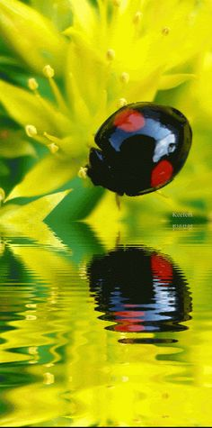 A reflective ladybug Black Ladybug, Ladybug And Cat Noir, Beautiful Bugs, Beautiful Butterflies, Lady Bug, Beetle Bug, Water Reflections, Bugs And Insects, Love Bugs