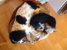 Jade and Luna sleeping King Charles Spaniel, Cavalier King Charles, Cutest Dog Ever, Cute Dogs, Jade, Animals, Animais, Animales, Animaux
