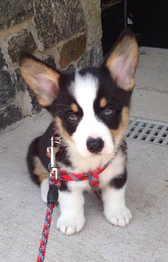 via the daily puppy Puppy Breed: Pembroke Welsh Corgi Benedict or Benny is an adorable and playful tri-colored Pembroke Welsh Corgi wonderpup! He loves chasing anything, playing fetch and getting treats. He can be a little mischievous and too smart for his own good, but hes also very lovable and sweet.