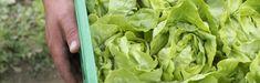 Bio Box – das Abo mit frischem Bio Gemüse - Mahler & Co - Feine Biowaren Lettuce, Vegetables, Box, Porto, Organic Vegetables, Swiss Guard, Harvest, Fresh, Snare Drum