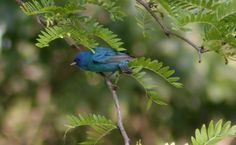 Indigo Bunting:  Our newest friend to find our feeder and give us countless hours of enjoyment.  We ♥ you Mr. Indy!