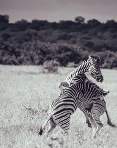 The Zebra Illusion by Adam Rozanski on 500px  Zebras use their stripes to disorient predators by blending together to form what appears to be one big striped animal.   You can see the effect here where the stripes on the left zebra line up with those on the right, making it difficult to distinguish their individual silhouettes. #africa #animal #battle #black and white #blackandwhite #fight #kruger #pattern #savannah #stripes #veldt #wild #wilderness #wildlife #zebra