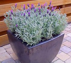 I had never seen this type of lavender before but it is a SILVER Anouk Lavender, exactly like spanish lavender but with silver leaves and beautiful texture. Of course I had to get it! Lovely!