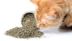 Catnip by Cat Crack, Premium Organic Blend Safe for Cats, Infused with Maximum Potency your Kitty is Guaranteed to Go Crazy for! ** See this awesome image (This is an affiliate link and I receive a commission for the sales) : Presents for Cats Toxic Plants For Cats, Cat Plants, Sleeping Pills, Cat Sleeping, Chinchillas, Catnip Plant, Animal Gato, Herding Cats, What Cat