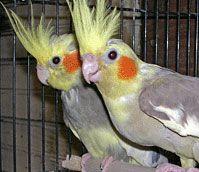Google Image Result for http://www.birsup.com/images/b-birds/quaker-parrot-breeder-02.jpg