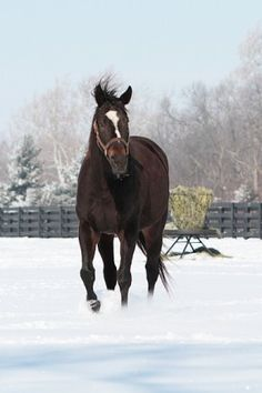 Photo by Alys Emson Feb playing in the snow. Soon to be bred to War Front. Let's hope for another filly! Z Princess had so much promise, you could see it in her conformation and her spirit, so like her Momma. Pretty Horses, Horse Love, Beautiful Horses, Zenyatta Horse, Thoroughbred Horse, Horse Stalls, Horse Barns, Barrel Horse, Horse Trailers