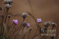 New series of 5 prints of beautiful Pink Wildflowers, growing abundantly on the Oregon Coast. Follow the link to SEImagesonline, a Fine Art America website, and on Pixels.com where iPhone covers are available
