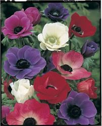 Anemone - De Caen - Mixed Colors;The Showy Windflowers, 'Anemone De Caen', produce mixed colors of bright scarlet, blue, white and lavender flowers with black centers and bold markings. They bloom June-August. This plant provides beautiful summer cut flowers or bulb plants that will force well indoors for winter flowering. The cut flowers on individual stems will last for 7 to 10 days. The bulbs will do best in a sunny and warm spot in a pot or directly in the garden. The flower grows 12…