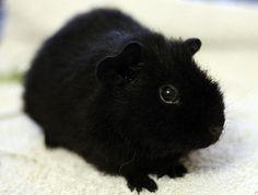 Black Guinea Pigs