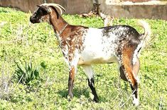 British alpine goat, female, Black with white Swiss ...