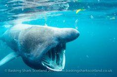 1524813 330767843766702 6737205984079364174 n 300x199 Basking Shark Scotland