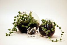 Mini terrariums with Rosary plants