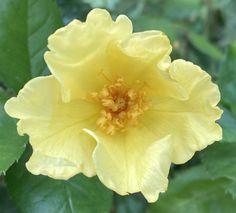 """Katie on Twitter: """"Tottering by gently from @DAustinRoses for #RoseWednesday 💛🌼… """""""