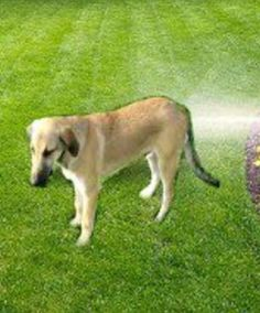 Sprays And Sprinklers Linked To Motion Detectors Can Be Very Effective In  Repelling Dogs From The