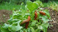 NapadyNavody.sk | Jednoduché tipy, ako sa zbaviť slimákov v záhrade bez použitia…