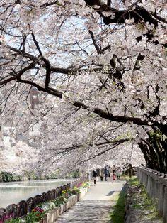 """Das letzte Mal in Japan Hanami ( """"Blüten betrachten"""")"""