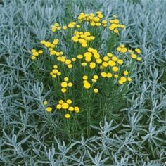 GRÅ HELGONÖRT i gruppen Fröer / Krydd- och Medicinalväxter / Medicinalväxt hos Impecta Fröhandel (3044)