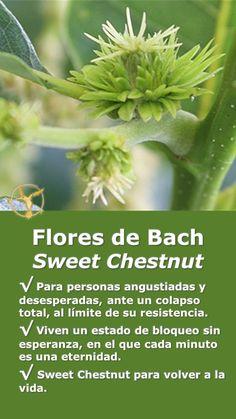 #flores #de #bach #depresion #ansiedad #beneficios #español #sweet #chestnut #remedios #salud #terapia #terapias #alternativas  #healing #herbs #ayuda #combatir #tristeza #desesperacion #natural #naturales