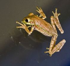 Cuban Tree Frog On Glass - Osteopilus septentrionalis