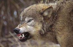 the gray wolf getty images | Lefzen fletschend, Knurrender Wolf ( Canis lupus ), Westliches Montana ...