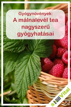 A málnalevél tea nagyszerű gyógyhatásai Herbalism, Strawberry, Medical, Fruit, Healthy, Vertigo, Food, Cold Sore, Raspberries