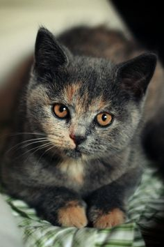 Diluted tortie cat