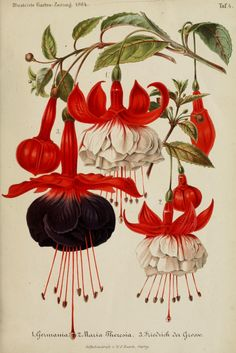 Fuchsia. The first Fuchsia was discovered on the Caribbean island of Hispaniola (Haiti and the Dominican Republic) about 1696–1697 by the French Minim monk and botanist, Charles Plumier. Illustration taken from 'Illustrierte Garten-Zeitung' by Albert Courtin, Karl Mueller. Published 1864 by E. Schweizerbart.