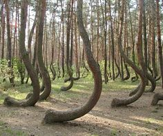 In a tiny corner of western Poland a forest of about 400 pine trees grow with a 90 degree bend at the base of their trunks - all bent northw...