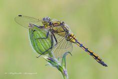 Orthetrum cancellatum (Linnaeus, 1758) Dimensioni: lunghezza: 45-50 mm, apertura alare 70-80 mm. Descrizione della specie: specie di colore bruno-giallo con addome, robusto e appiattito, attraversato da bande nere longitudinali. L'addome, nel maschio maturo, assume colorazione azzurra eccetto i primi due segmenti alla base e all'estremità che sono neri. Le ali sono completamente trasparenti con pterostigma nero. Questa specie è molto simile ad Orthertum albystilum e si distingue…